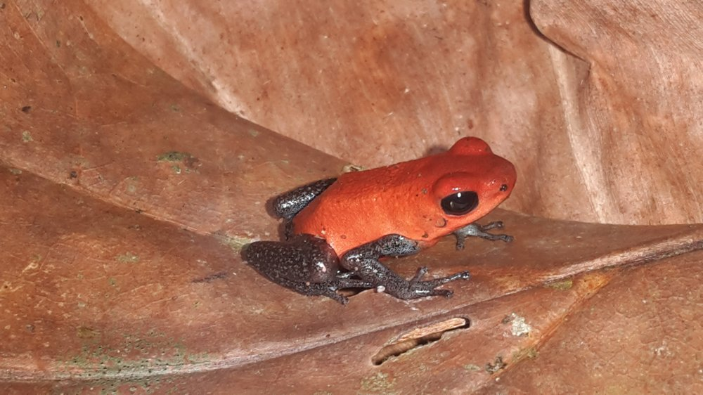 A small red and blue poison dart frog sitting on a dry leaf.
