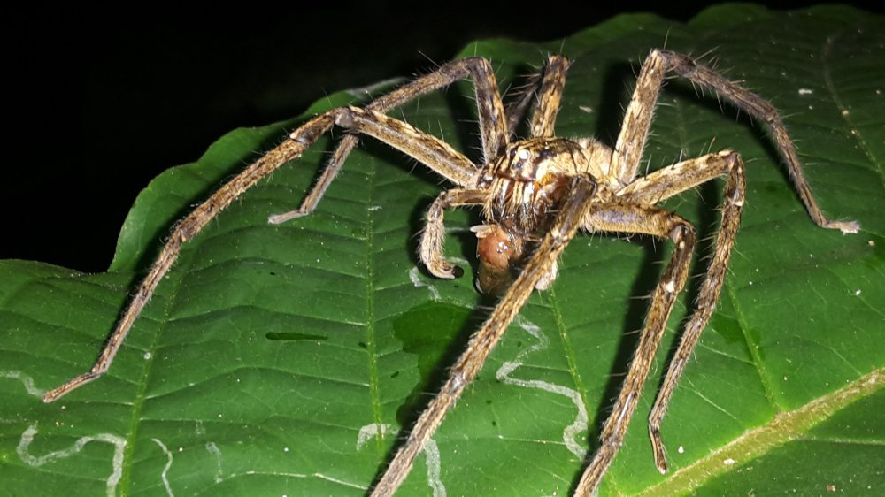 A wolf spider eating a wasp at night.