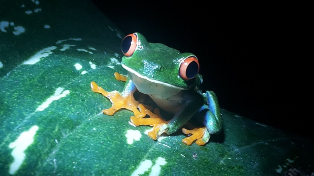 A red-eyed tree frog sitting on a leaf in Costa Rica.