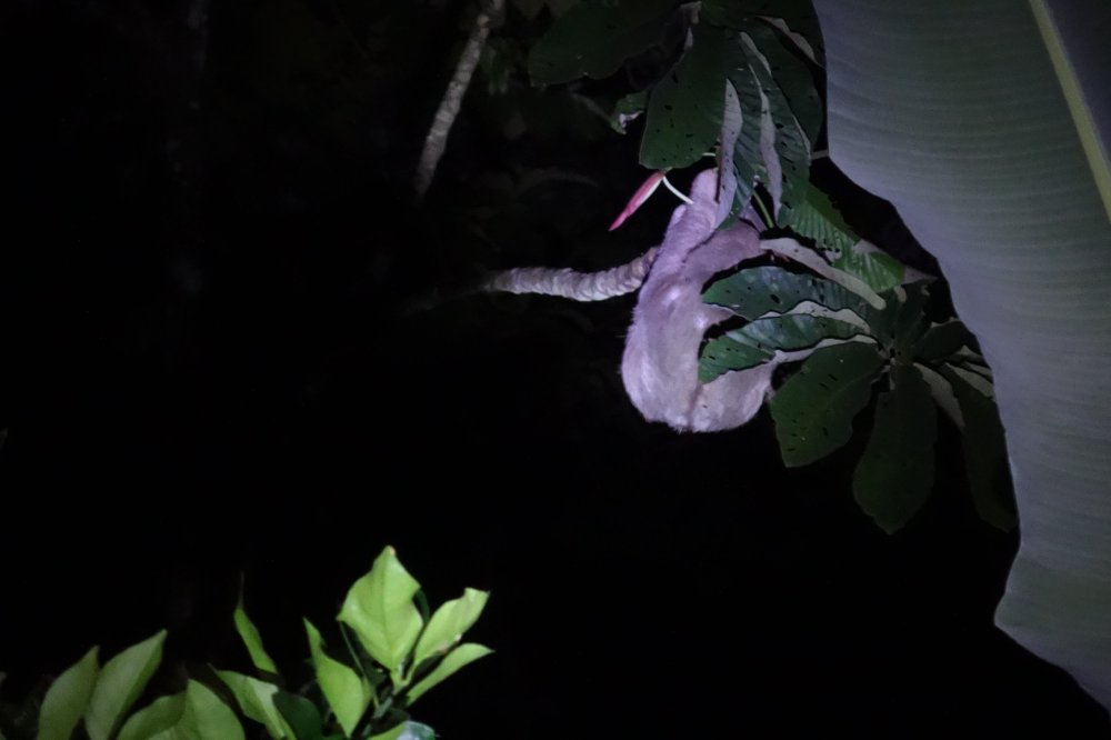 A sloth hanging in a tree at night, slowly eating leaves.