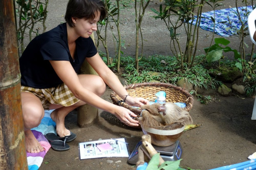 A juvenile sloth is being weighed by a volunteer of the Jaguar Rescue Center in Puerto Viejo.