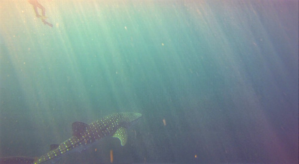 A whale shark hangs in the blue, just below the surface. A snorkler appears tiny next to it.