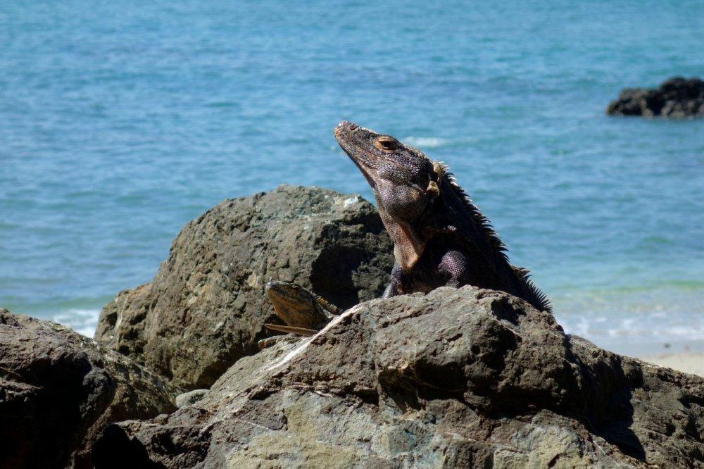 Iguanas sunbathing on a rock by the beach in Manuel Antonio National Park
